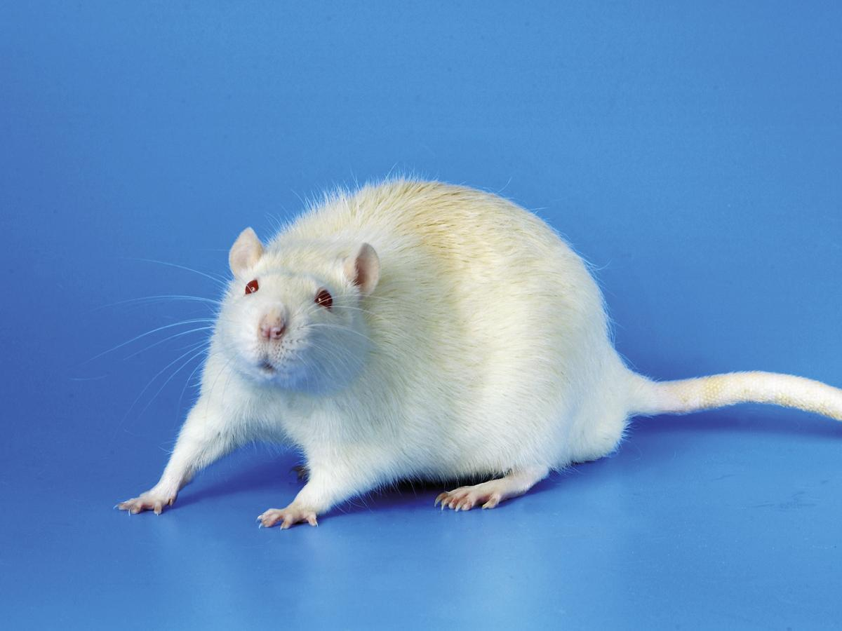 Rato de Laboratório Perfeito