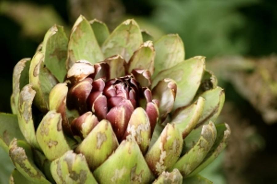 Alcachofra: Infusão Depurativa e Desintoxicante de Alcachofra