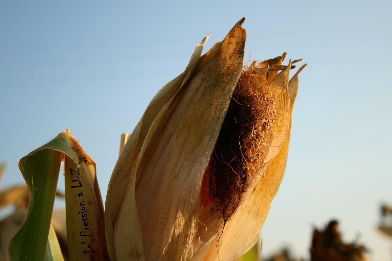 Barbas de Milho – Remédio Diurético de Barbas de Milho para Emagrecimento