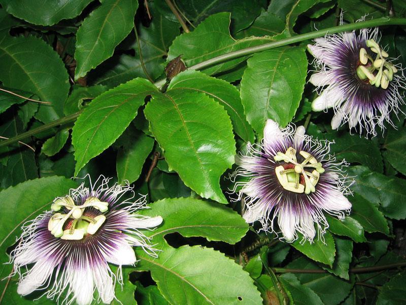 Passiflora – Remédio de Passiflora para Perda de Peso