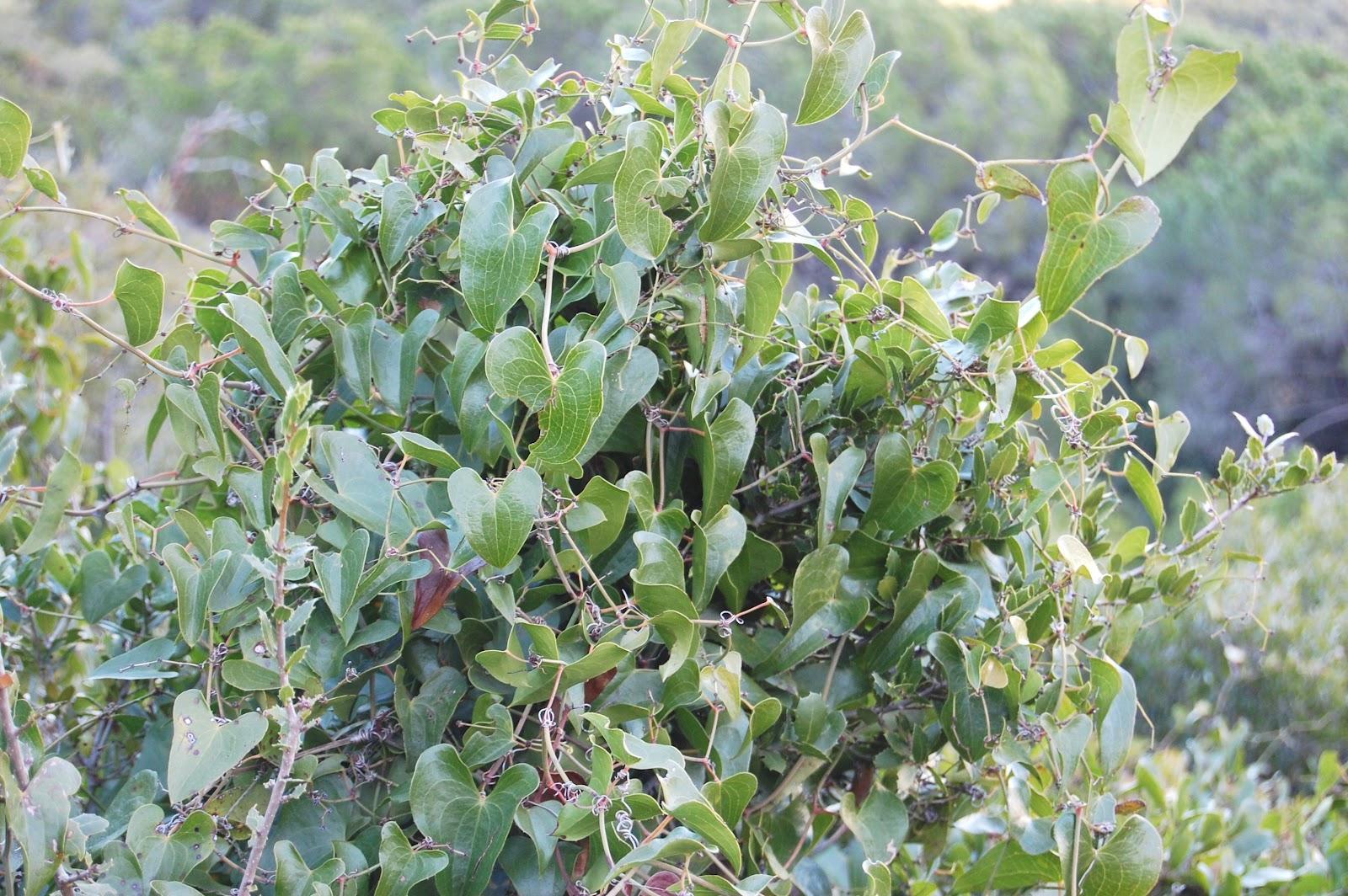 Salsaparrilha: Remédios Caseiros com Salsaparrilha