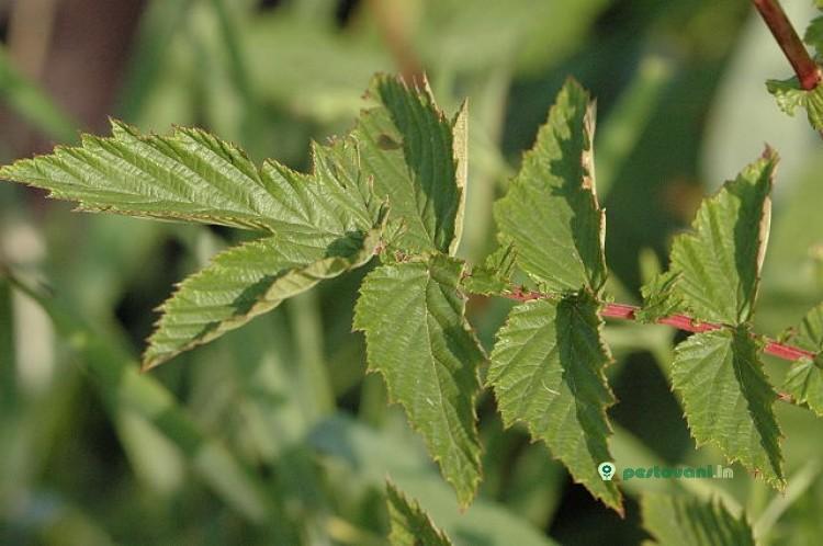 Ulmaria: Remédios Caseiros com Ulmaria