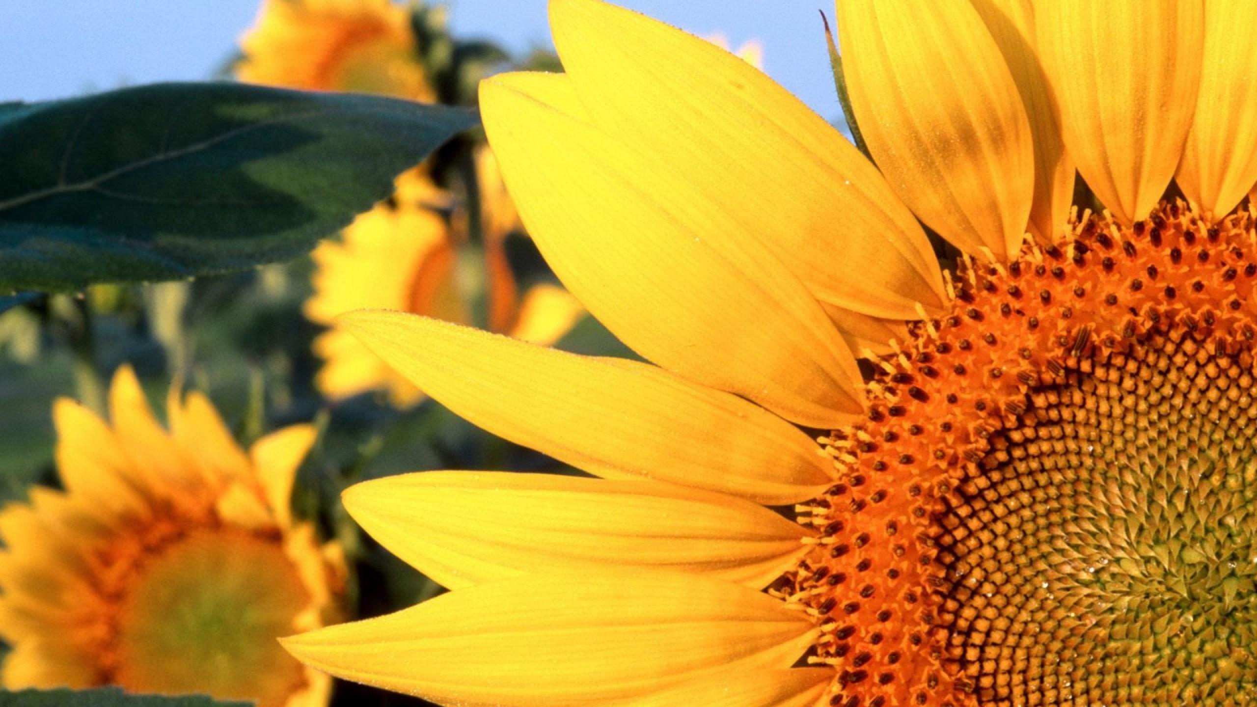 Óleo de Girassol: Remédios Caseiros Com o Girassol e o Seu Óleo