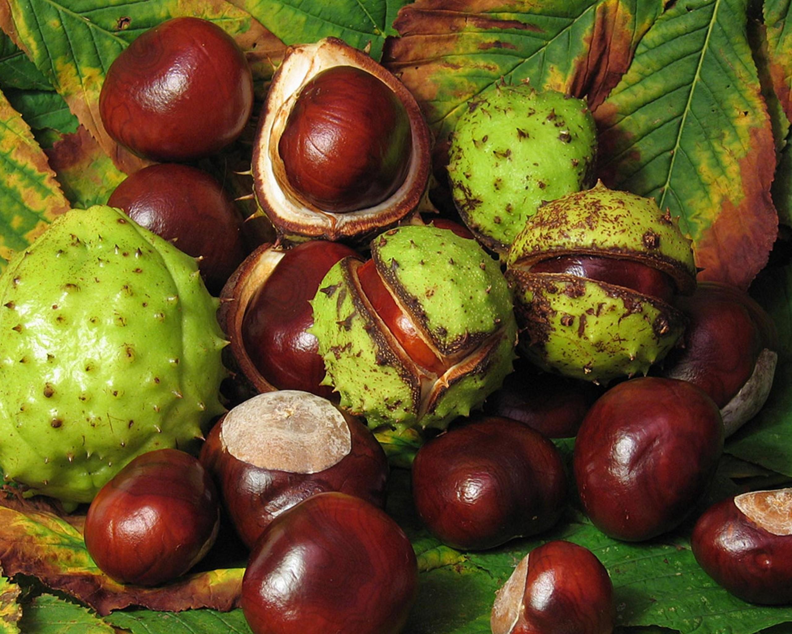 Castanha da Índia – Remédios Naturais com Castanha da Índia