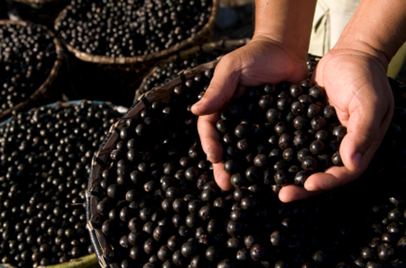 Púrpura Bacca – Benefícios Púrpura Bacca Emagrecer