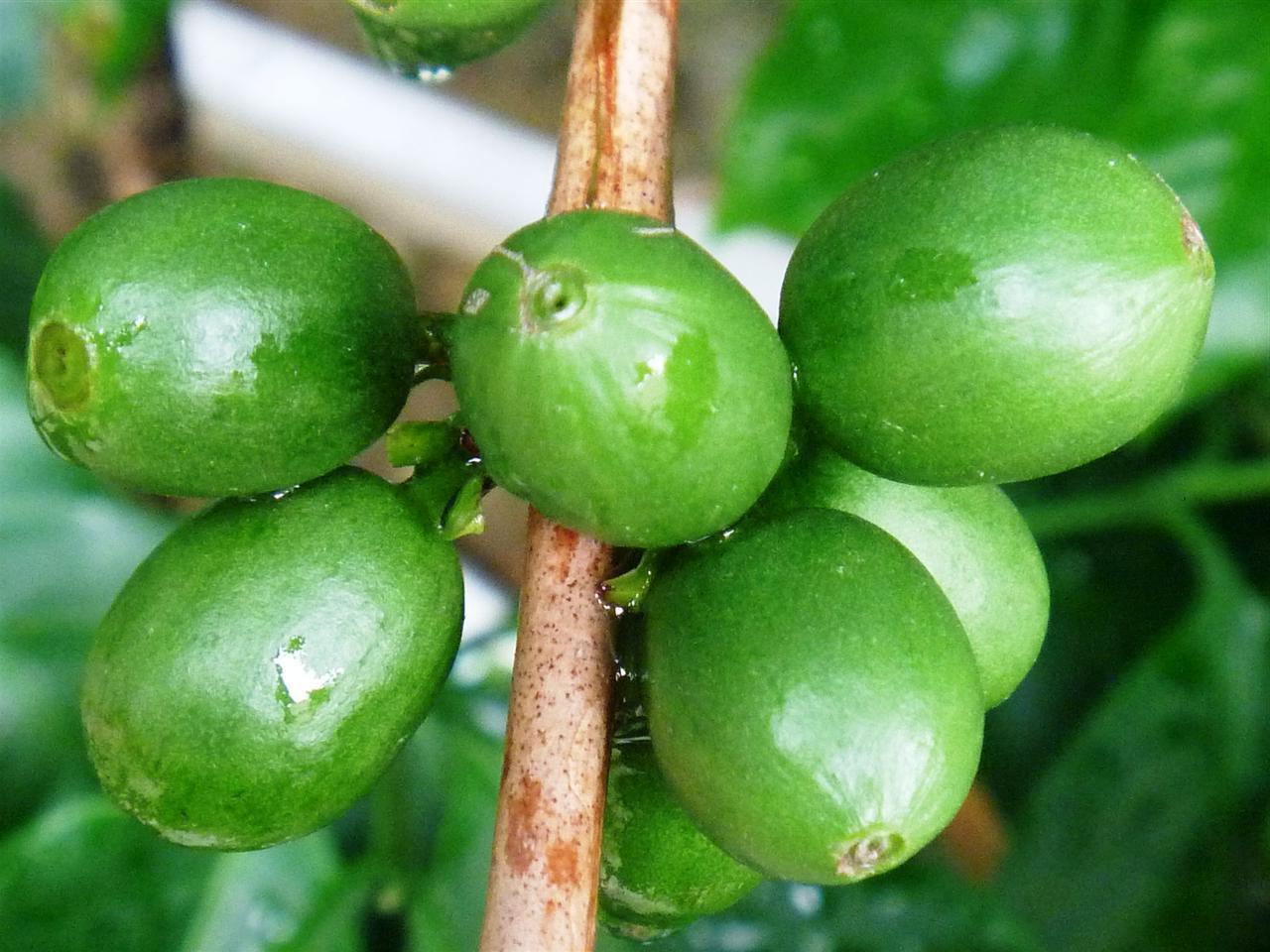 Como Emagrecer com o Café Verde