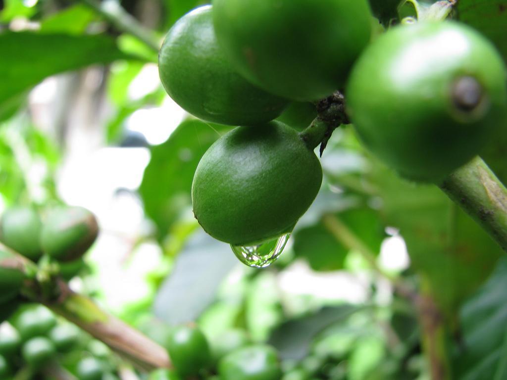 Extrato de Grãos de Café Verde para Emagrecer