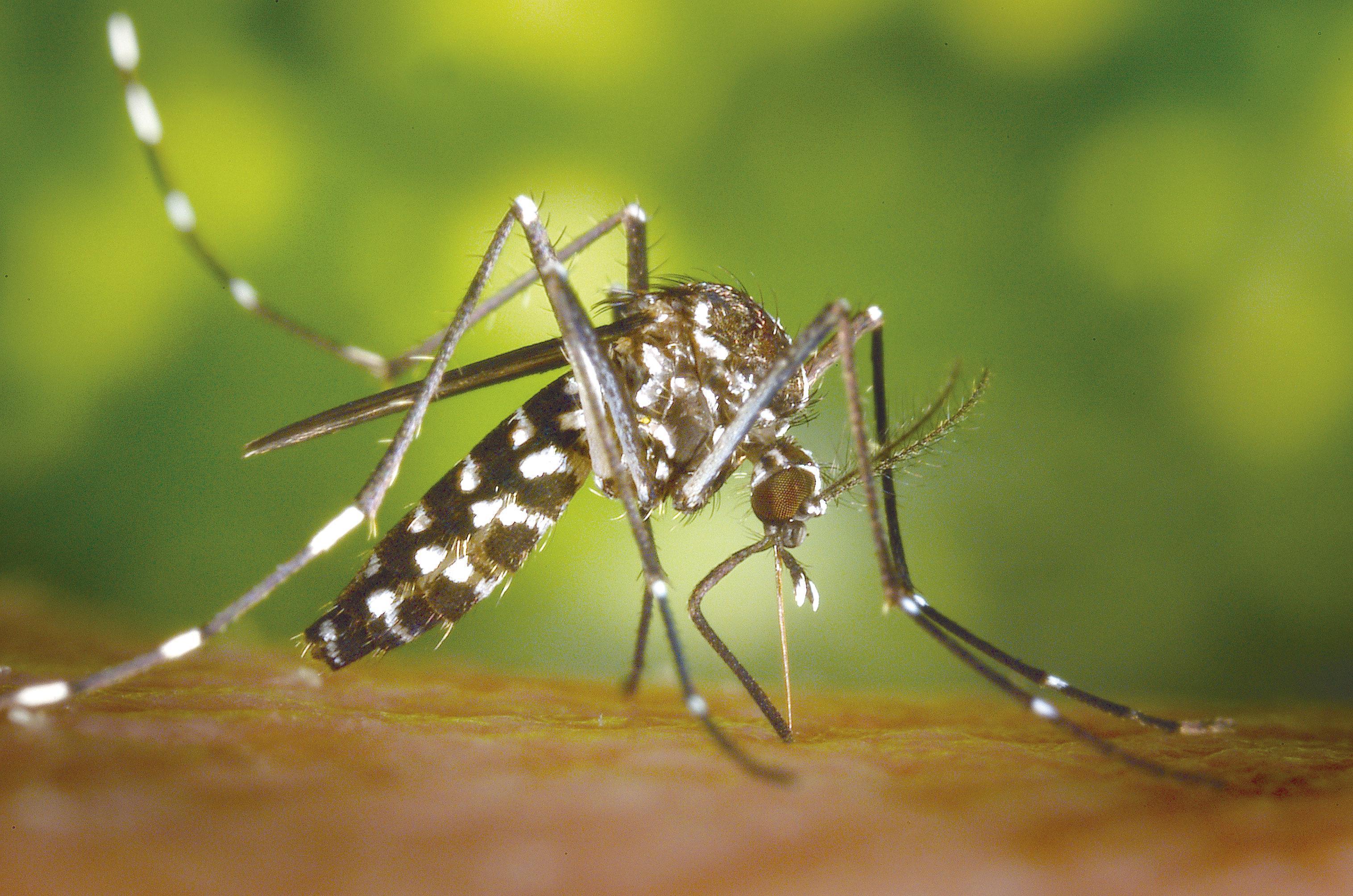 Remédios Caseiros Para Picadas do Mosquito Tigre