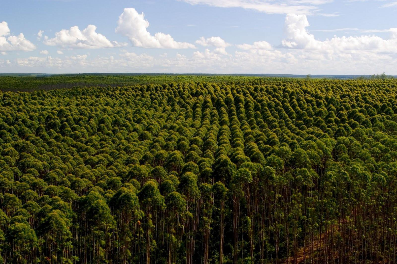Resultado de imagem para eucalipto