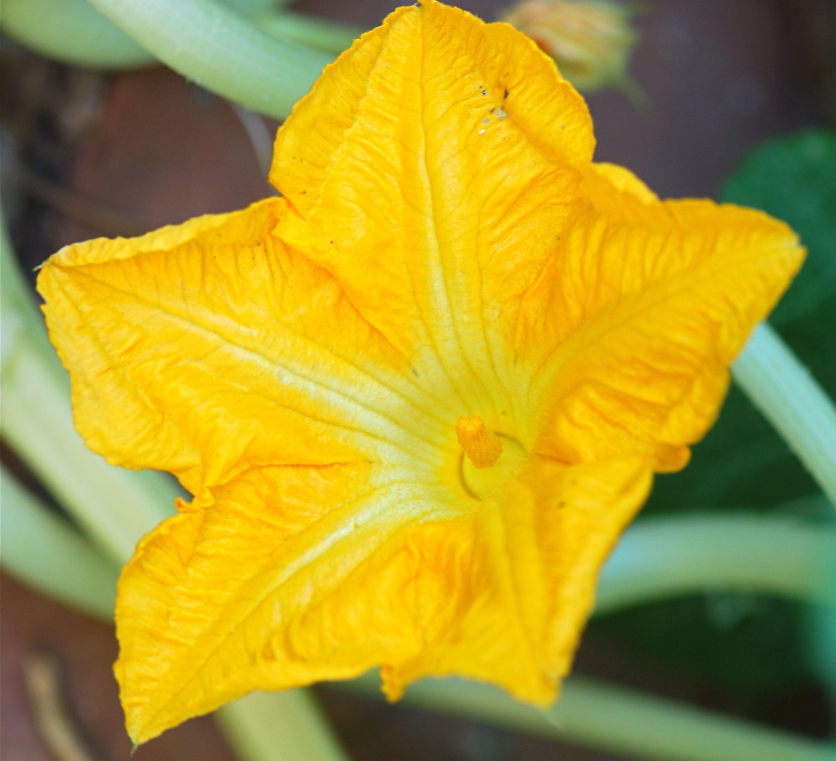 Flores De Abóbora: Benefícios Para A Saúde