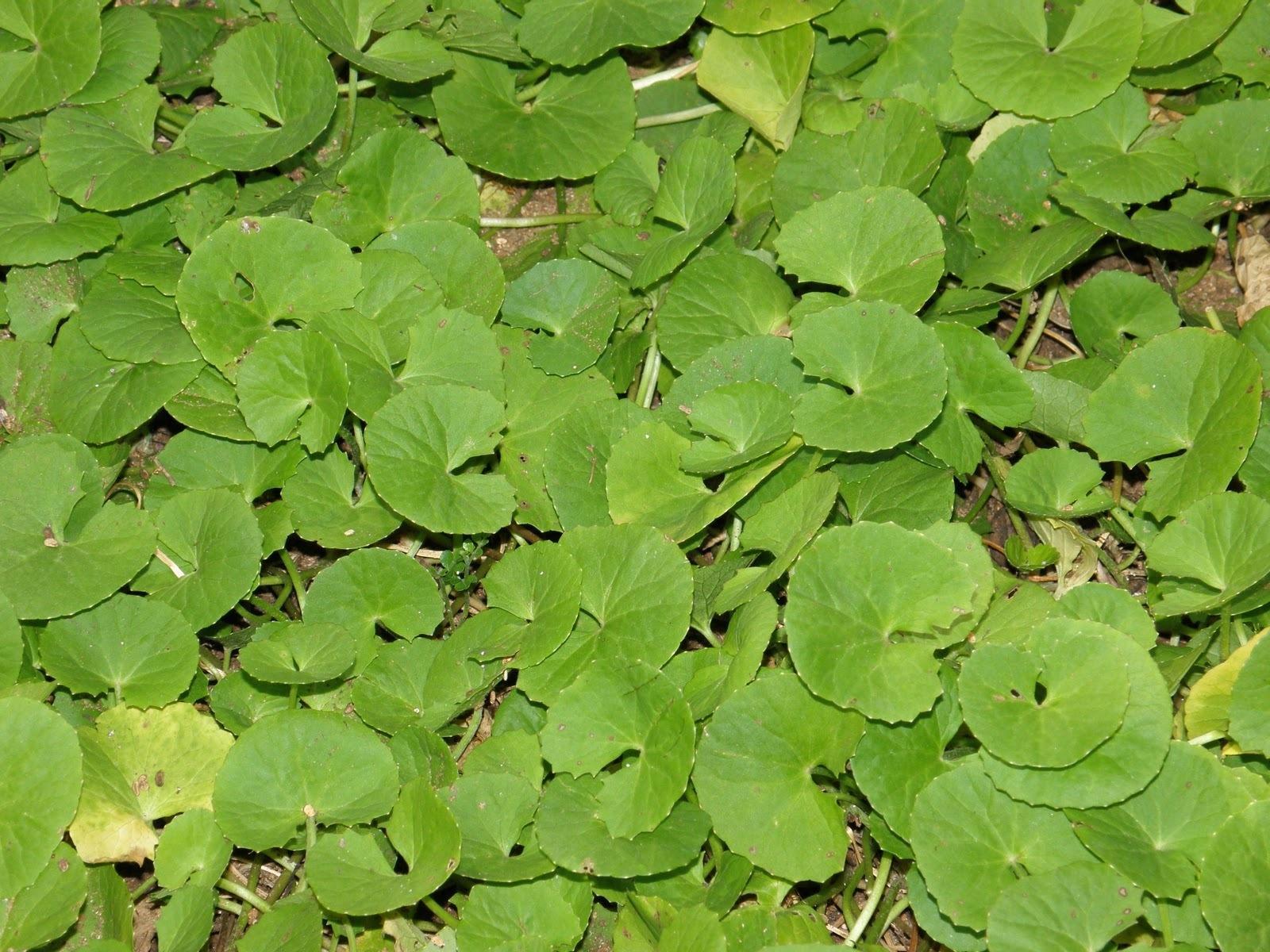 Brahmi, Planta Essencial na Medicina Indiana