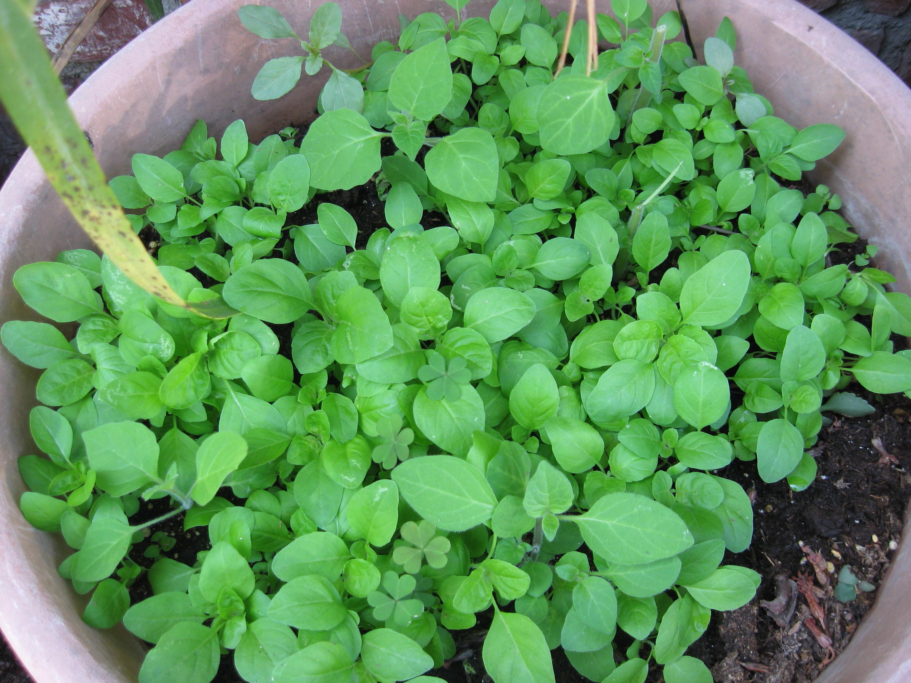 Saiba Como Usar Tulsi, Uma das Plantas Medicinais da Índia
