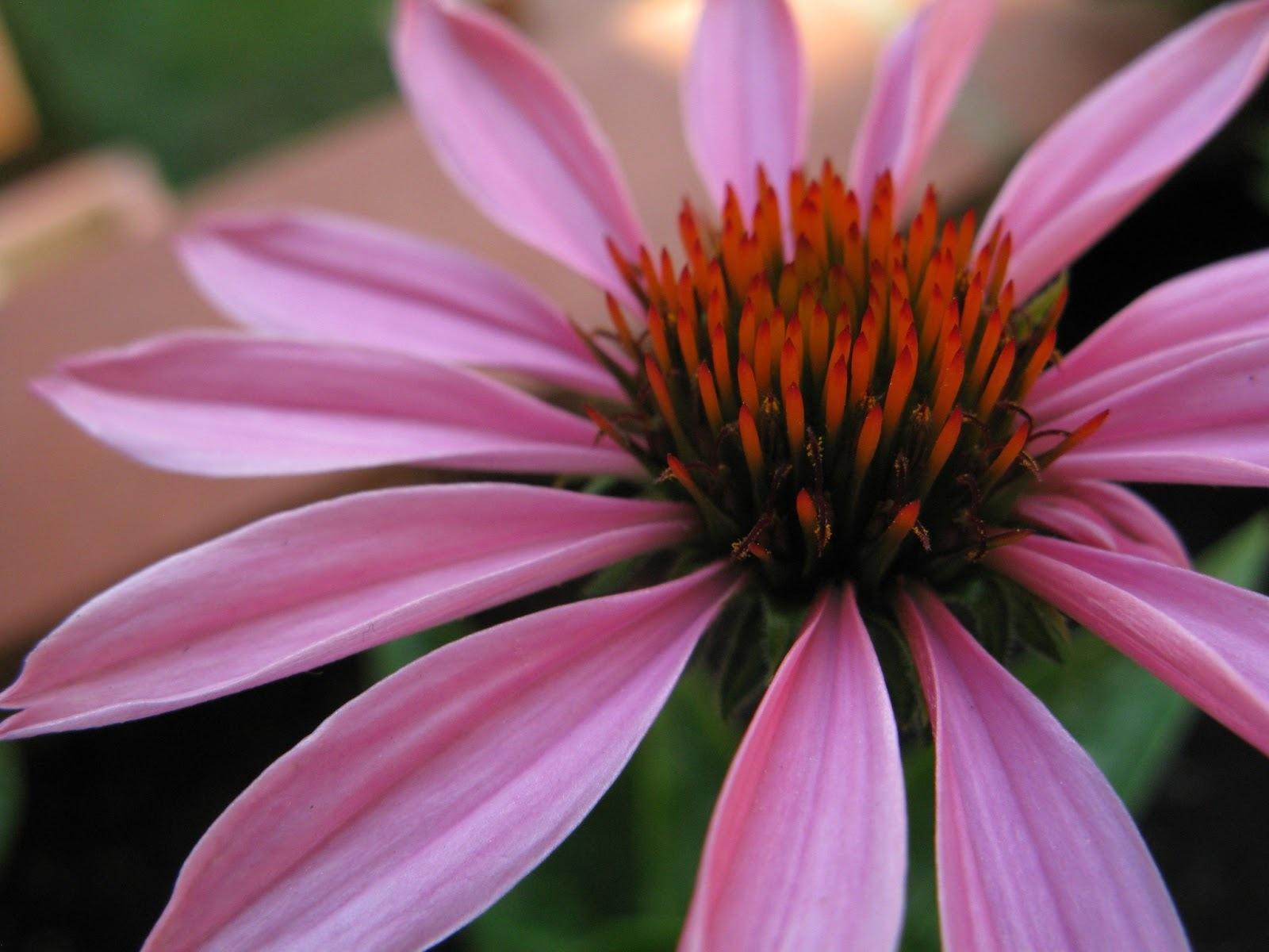 Equinácea: Propriedades desta Planta Medicinal