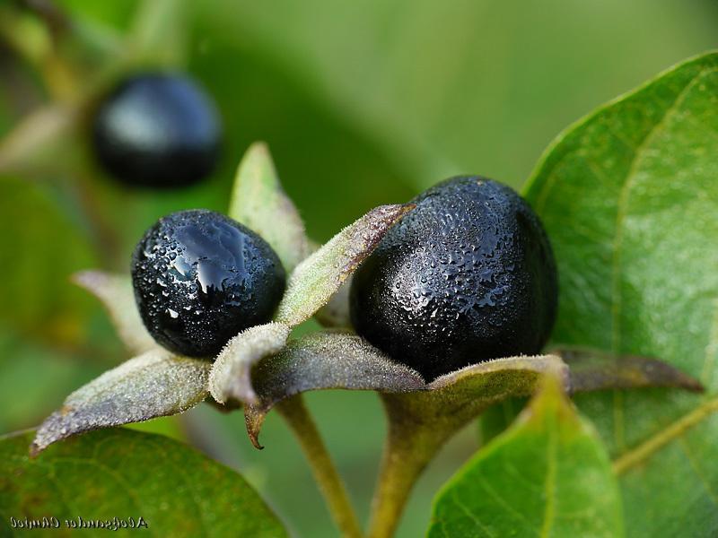 Beladona: Todos os Benefícios Para Emagrecer Desta Planta
